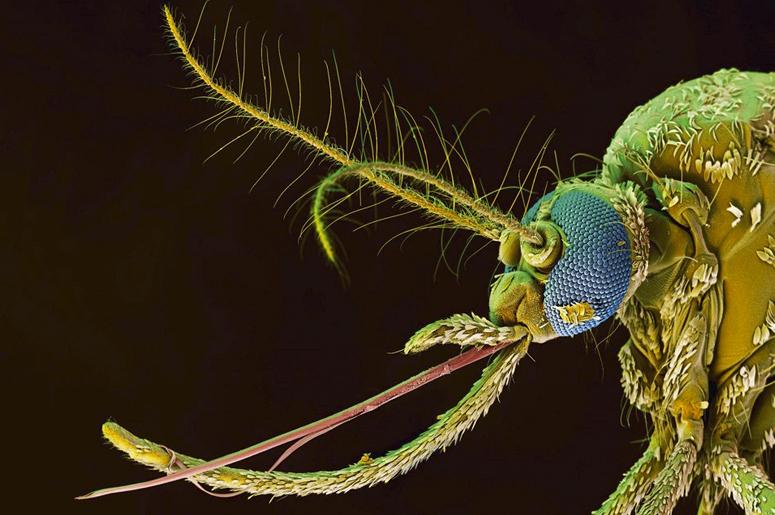 Картинки по запросу самка комара