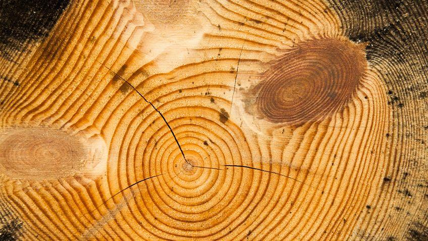Как раскрывают тайны прошлого и узнают будущее по древесным кольцам - фото 3
