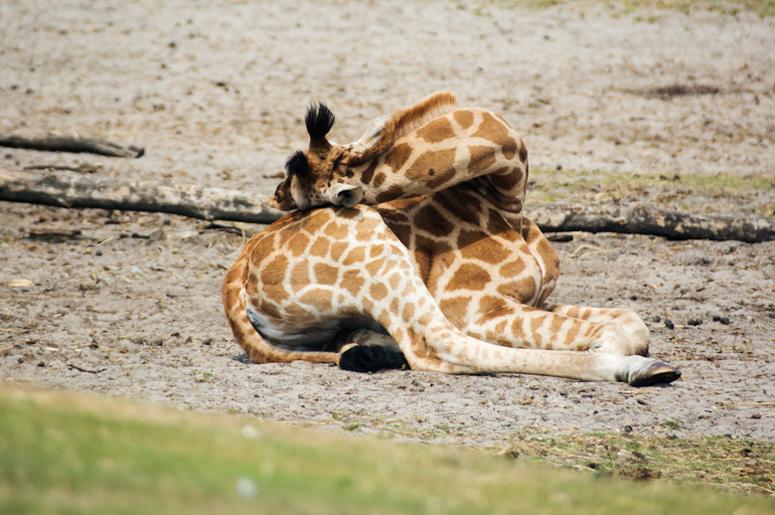 Жирафы спят картинки