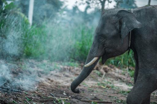 В Индии камеры зафиксировали «курящую» слониху
