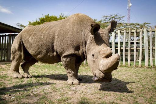 Умер последний белый носорог на Земле — что это значит?