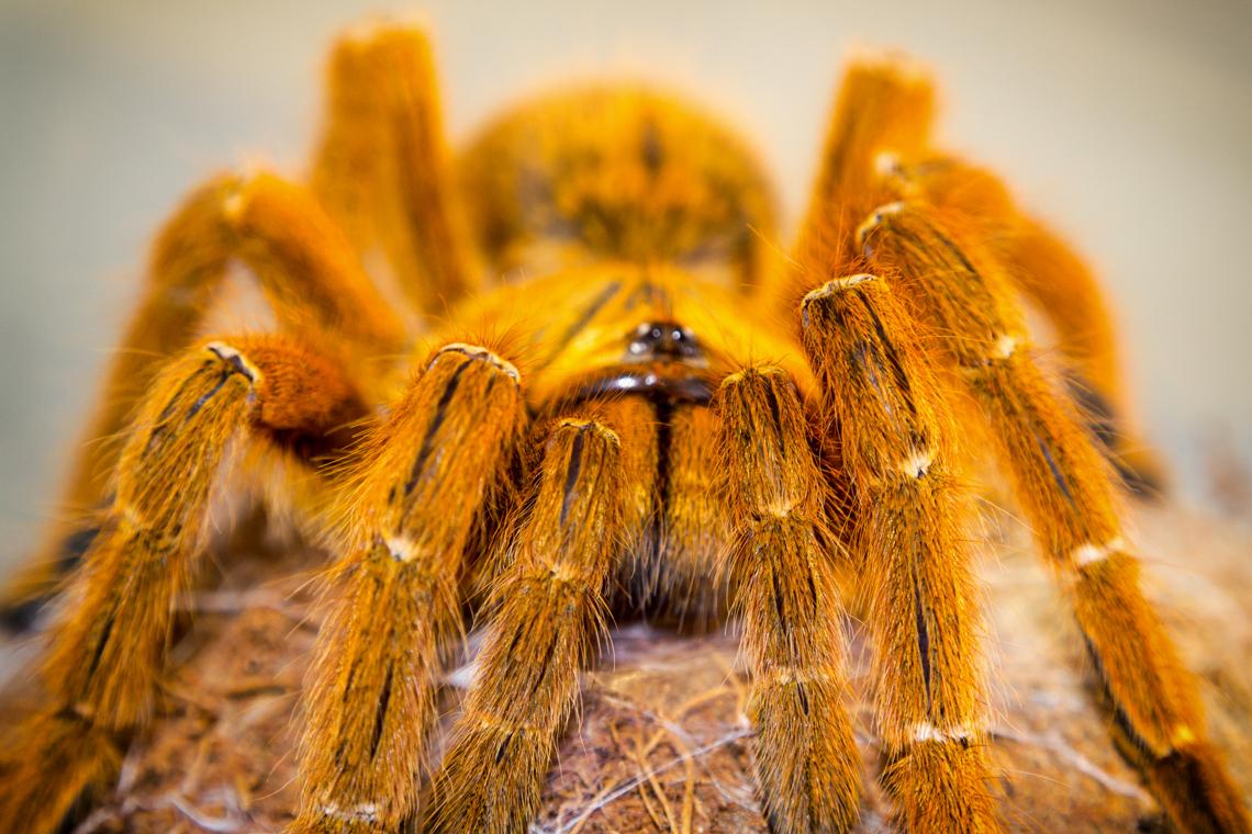 Картинки паука птицееда